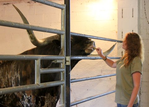 Heatherly Smith makes friends with Drag Iron by feeding him his favorite bull candy.