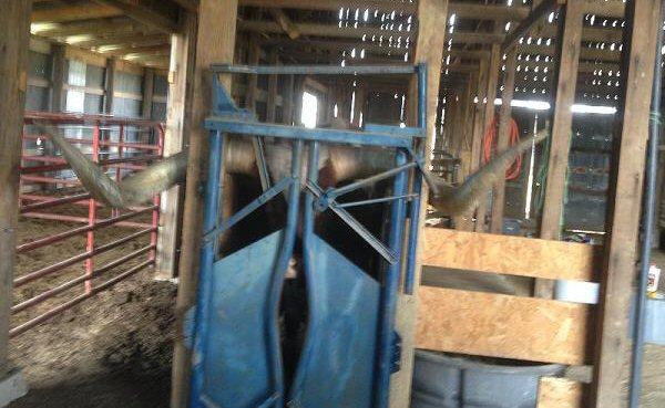 Big Texas Longhorn Steer in Blue Chute
