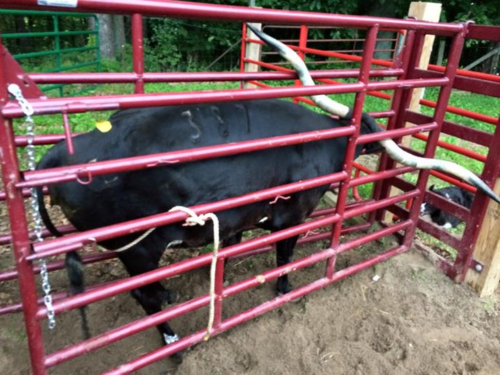 Big black cow in BRY chute