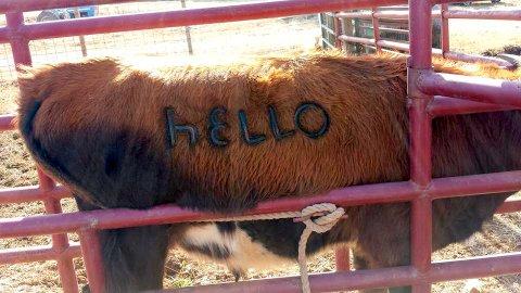 Steer branded in Bry Chute