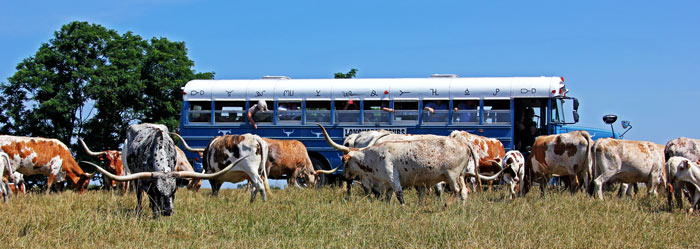 Blue Bus in pasture with Texas Longhorns