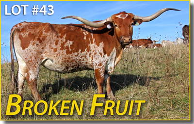 Broken Fruit is a normal sized cow by famous complete sire, Winchester. She is young, confident and has more on her plate than a Scandinavian smorgasbord. She is a personal friend of Drag Iron - don't ask for an explanation.