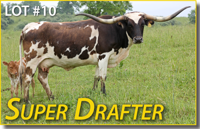 Super Drafter is a pretty Super Bowl cow with all the parts in the right place. Sells bred to Tibbs. She will stand out in the new buyer's pasture like a rare honest politician.