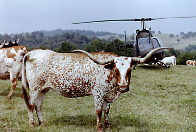 Helicopter with Texas Longhorn cow