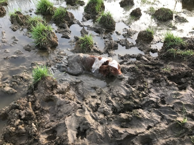 Calf buried in mud