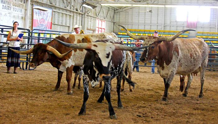 ORVTLA All Age Grand Champion cow class