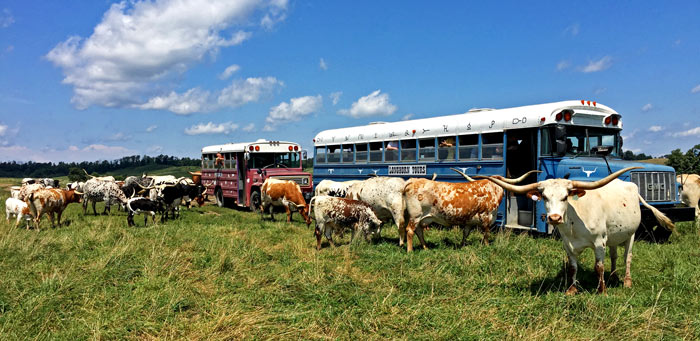 Buses in pasture