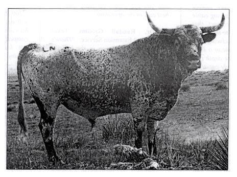 Old Longhorn Bull