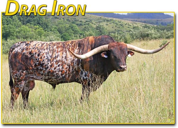 """Drag Iron -- 83.75"""" semen $75"""