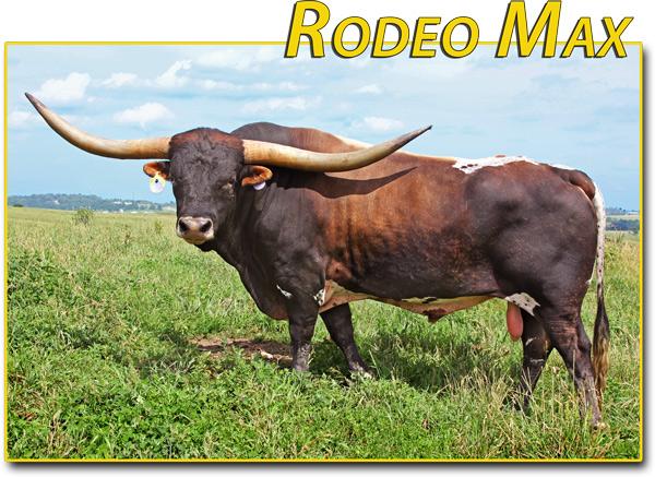 """Rodeo Max -- 83.5"""" semen $35"""