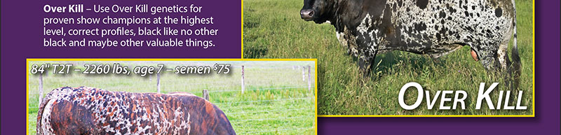 "Over Kill – Use Over Kill genetics for proven show champions at the highest level, correct profiles, black like no other black and maybe other valuable things. 2003 to 2014 – 80"" T2T and 2100 lbs – semen $50"