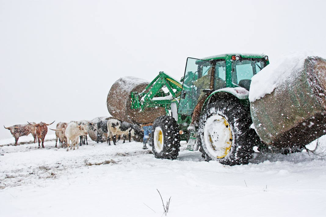 Tractor delivering round bales of hay to Texas Longhorns during blizzard