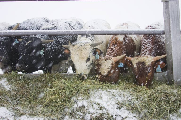 Cattle munching on hay during blizzard in Ohio