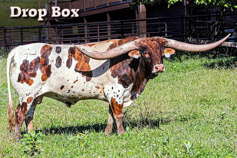 Bull Horns For Sale >> Texas Longhorn Cattle For Sale by Breeders in Ohio | Dickinson Cattle Co