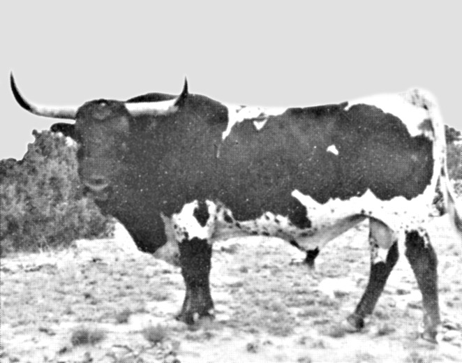 Famous Old Bull