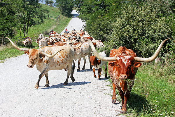 Building A Texas Longhorn Herd