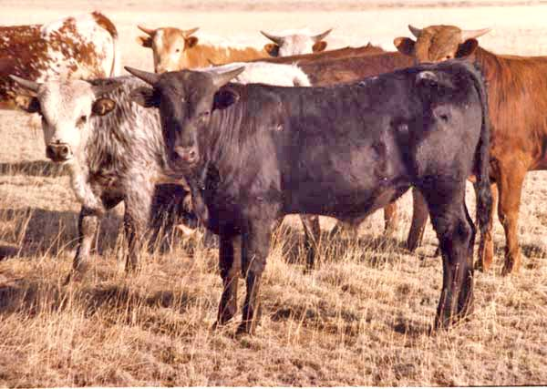 Texas Longhorn Steer Bulls Amp Ropers For Sale In Ohio