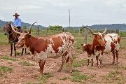 Longhorns in Brazil from DCCI embryos and Semen