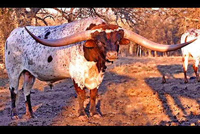 Texas Longhorn Reference_Sire - Cowboy Tuff Chex - Photo Number: Cowboy-Tuff-Chex.jpg
