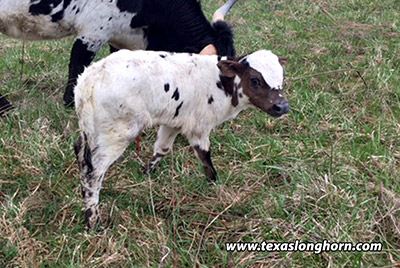 Killing Cowboys Calf 2018 - Photo Number: Killing_Cowboy-2018-H.jpg