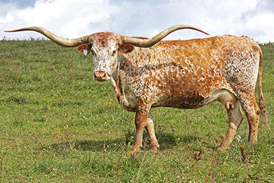 Texas Longhorn Reference_Cow - Jester - Photo Number: b_7169.jpg