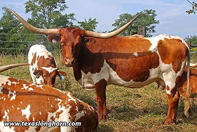 Bred_Cow - Clear Mark - Photo Number: d_5895.jpg