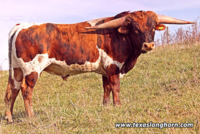 Texas Longhorn Reference_Sire - Cut'n Dried - Photo Number: d_8607.jpg
