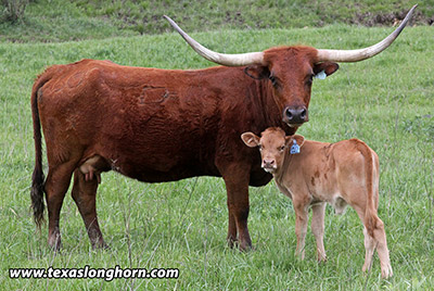 Texas Longhorn Pair - Special Jangle - Photo Number: e_1621.jpg
