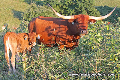 Texas Longhorn Bred_Cow - Special Jangle - Photo Number: e_4346.jpg