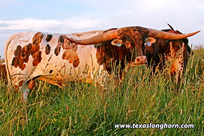 Texas Longhorn Reference_Sire - Drop Box - Photo Number: e_4376.jpg