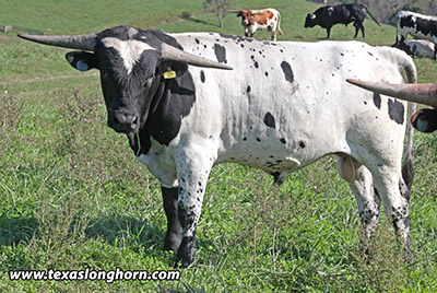 Texas Longhorn Bull_2017 - Fickle Jet - Photo Number: e_8725.jpg