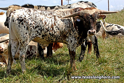 Texas Longhorn Bull_2018 - Drop Splotch - Photo Number: f_7681.jpg