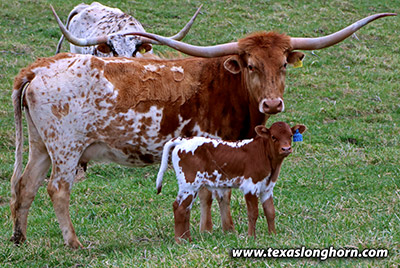 Texas Longhorn Pair - Brusied Reed - Photo Number: h_0766.jpg