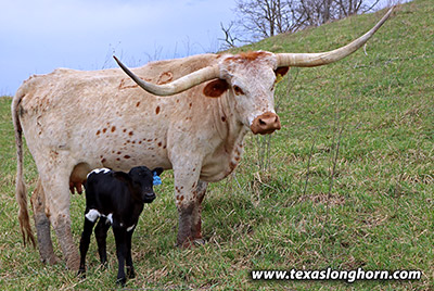 Texas Longhorn Pair - Chicken Noodle - Photo Number: h_0772.jpg