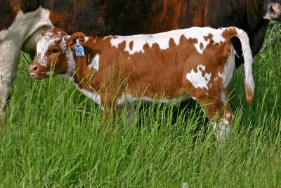 Mile Quest - Photo Number: s_1621_calf.jpg