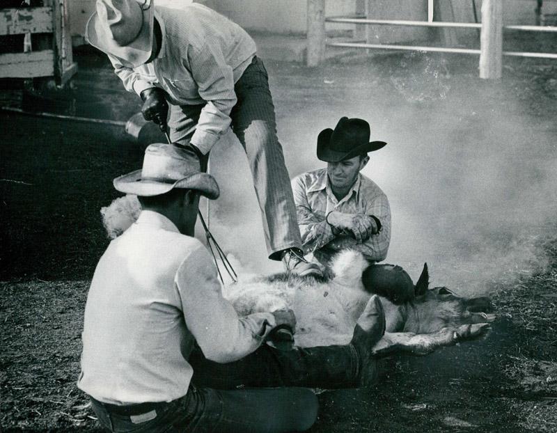 Cowboys branding Texas Longhorn