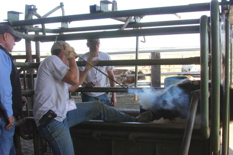 Joel Dickinson Branding a cow.