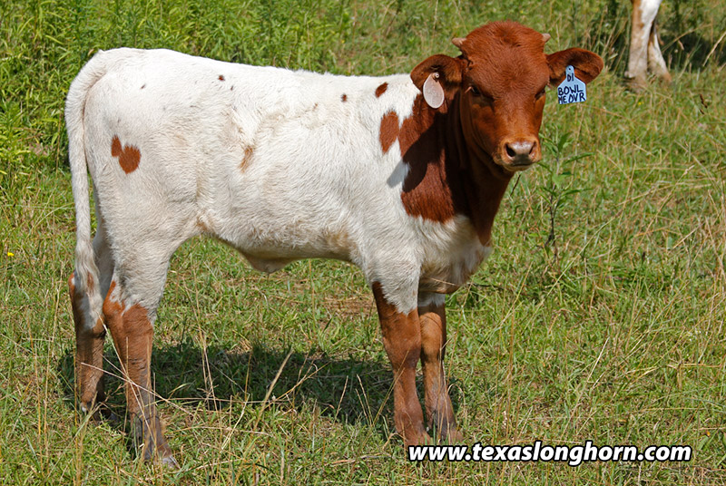 This heifer has a little more attraction than just basic white, yet does not catch the eye in respect of color.