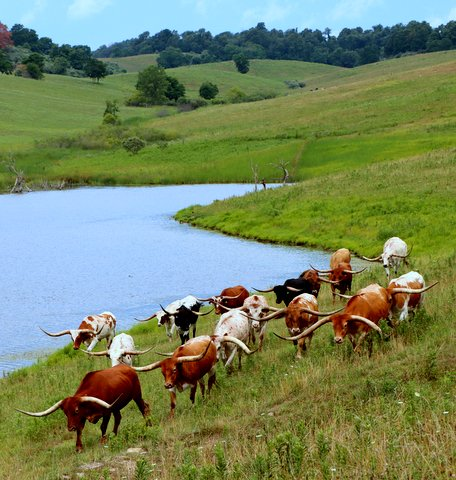 Longhorn Steers By Pond
