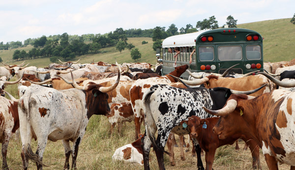 """Every guest received a narrated ranch tour of Texas Longhorn, Dutch Buelingo and African Watusi pastures. Up to 400 cattle were viewed at DCC. Hand feeding the cattle and having a moist cow tongue wrap around the hand was also a high point for """"most"""" kids."""