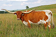 Texas Longhorn Reference_Cow - Winning Smile - Photo Number: A_3995.jpg