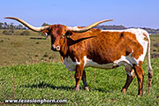 Texas Longhorn Dam - Winning Smile - Photo Number: B_6555-Winning-Smile.jpg