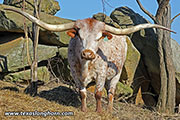 "Pretty Lady, Texas Longhorn cow with 90-1/2"" horns Tip To Tip - at Dickinson Cattle Co, near Barnesville, Ohio"