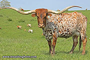 Texas Longhorn Reference_Cow - Sweet Kookateu - Photo Number: D_1747.jpg