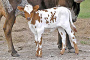 Heifer out of Unranga