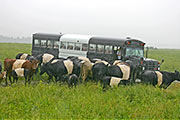 BueLingo Cows by BueLingo Bus on Longhorns Head to tail tour