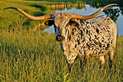 Texas Longhorn Reference_Cow - Shadow Jubilee - Photo Number: T_2519.jpg