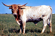 Phillips Cattle 11636
