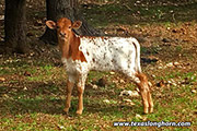 Tuxedo calf from Bella Rio Ranch