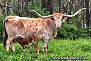 Texas Longhorn Dam - Victory Bella - Photo Number: Victory-Bella-20201221.jpg